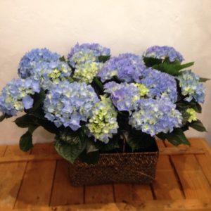 Cesta de Hortensias azules