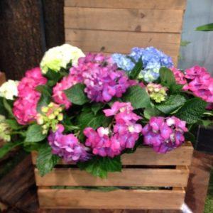 Hortensias en caja de madera